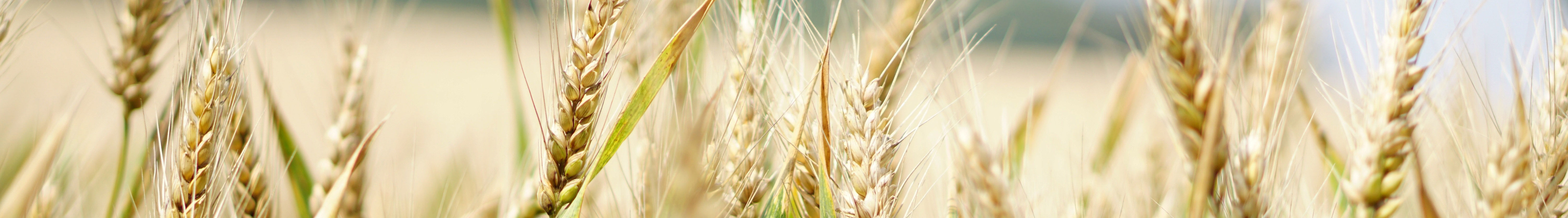 Zoomed view of wheat.
